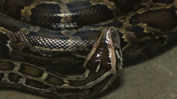 Moving Boa Snake — Vídeo de stock