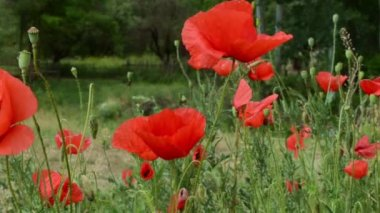 Poppies on Field Close Up — Stock Video