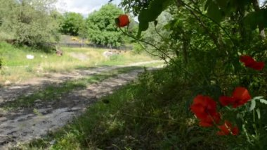 Poppies On Side of Country Road — Stock Video