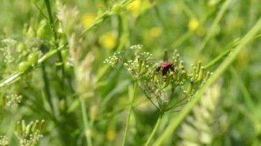 Red Bug Stays on Herbage — Stock Video