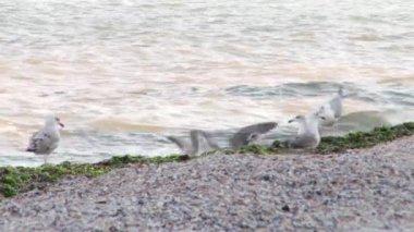 Sea Gulls Playing — Stock Video