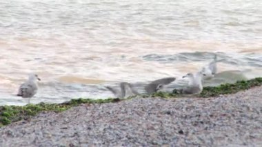 Seagulls on the beach — Stock Video