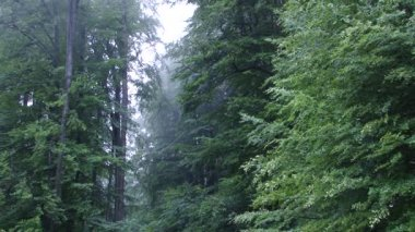 Tall Foggy Trees in Forest — Vídeo Stock