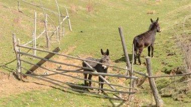 Two Donkeys Near Hurdle — Stock Video