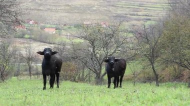 Two Domestic Black Oxen — Stock Video