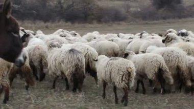 Donkey among Sheep — Stock Video