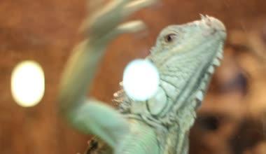 Escaping Iguana — Stock Video