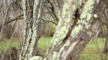 Lichens on Tree Bark — Stock Video