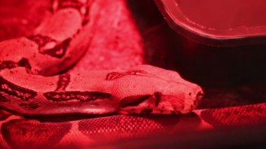 Red Light Python — Stock Video
