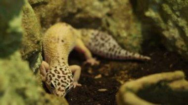 The Leopard Gecko Lizard — Stock Video