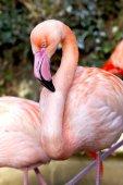 Flamenco rosado — Foto de Stock