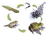 Frog life cycle — Stock Photo