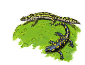 Tailed amphibians, newt and salamander — Stock Photo