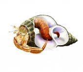 Hermit crab inside shell — Stock Photo