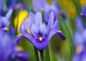 Beautiful purple iris flowers — Stock Photo