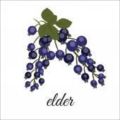 Sprig of elderberry — Stock Vector