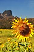 Sunflower with limestone mountain — Stock Photo