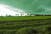 Storm while harvesting rice — Stock fotografie