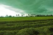 штурмуйте, получая рис — Стоковое фото