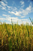 Crop in the rice field — Stock Photo