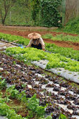 Farmer maintains vegetable plot — Stockfoto
