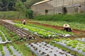 Farmers maintain vegetable plot  — Stockfoto