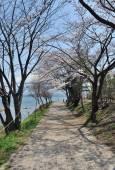 Pink Cherry blossom along the pathway at lake Kawaguchi — Stock Photo