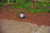 Pigeon are pecking on the ground. Dove on the ground. Bird on isolated natural background. — Stock Photo