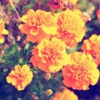 Marigold bright flowers with green leaves in the garden. Flowers close up, growing, top view. Bright marigold flowers from above. Flora design, flower background, garden flowers. Flowers no people. — Stock Photo #69232689