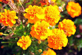 Marigold bright flowers with green leaves in the garden. Flowers close up, growing, top view. Bright marigold flowers from above. Flora design, flower background, garden flowers. Flowers no people. — Stock Photo