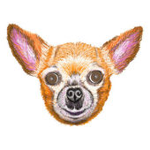 Cute dog of breed Chihuahua — Stock Vector