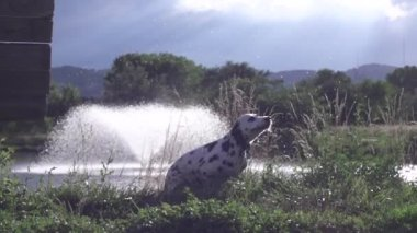 Dalmatian runs shaking off water from lake with fountain, slow motion (240 fps) — Stock Video