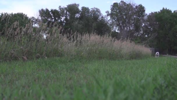 Dalmatian runs in park in slow motion (240fps) — Vídeo de stock