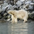 Polar bear in the wild Greenland. The landscape of the Arctic. Animals, rocks, mountains, tundra. — Stock Photo #77676166