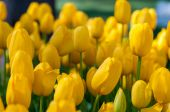 Yellow tulips in garden on  bokeh background. Outdoor, spring — Stock Photo