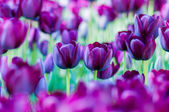 Two violet tulips in garden on  bokeh background. Outdoor, spring — Stock Photo