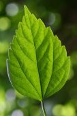 A Green leaf of hibiscus  — Stock Photo