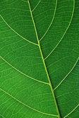 Leaf veins — Stock Photo