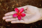 Pink frangipani in hand — Stock Photo