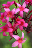 Branch of pink plumeria flowers — Stock Photo