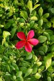 Beautiful pink frangipani flower  — Stock Photo