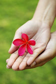 Pink frangipani in hands — Stock Photo