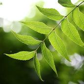 Medicinal plant - neem leaves  — Stock Photo