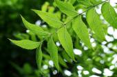 Neem leaves -Medicinal plant  — Stock Photo