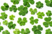 Three leaf clovers isolated on white — Stock Photo