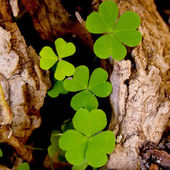 Shamrock-Three leaf clovers — Stock Photo