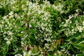 Neem leaves - azadirachta indica — Stock Photo