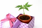Baby plant in a gift box — Stock Photo