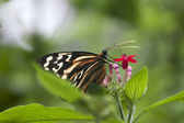 Butterfly sipping nectar  — Stock Photo