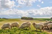 Бараны в британской сельской местности — Стоковое фото